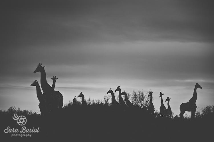 giraffe_sara-busiol001