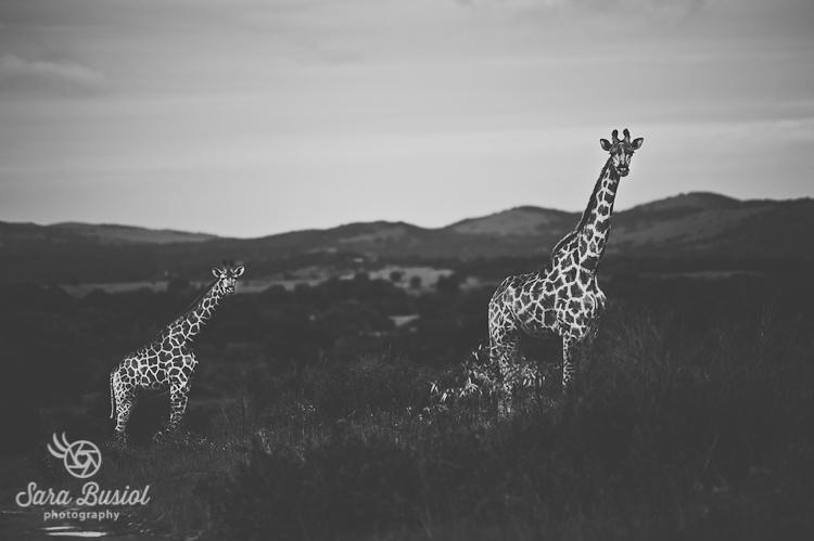 giraffe_sara-busiol002