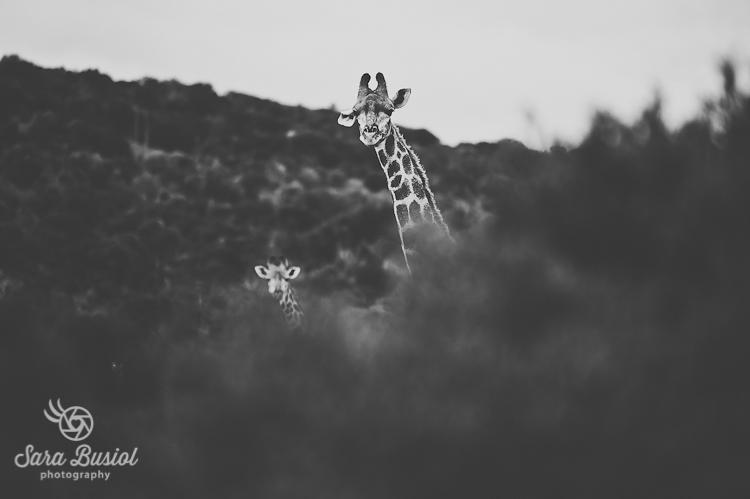 giraffe_sara-busiol003
