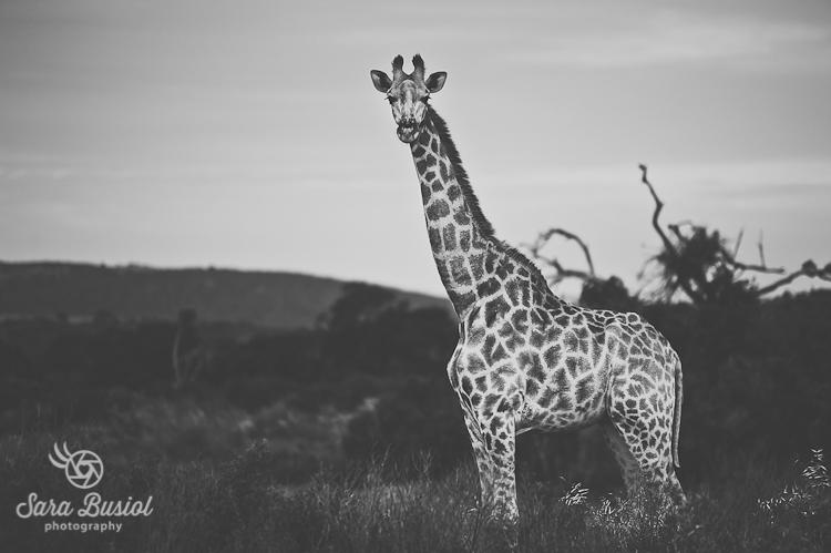 giraffe_sara-busiol004