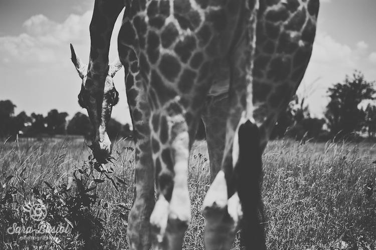giraffe_sara-busiol006