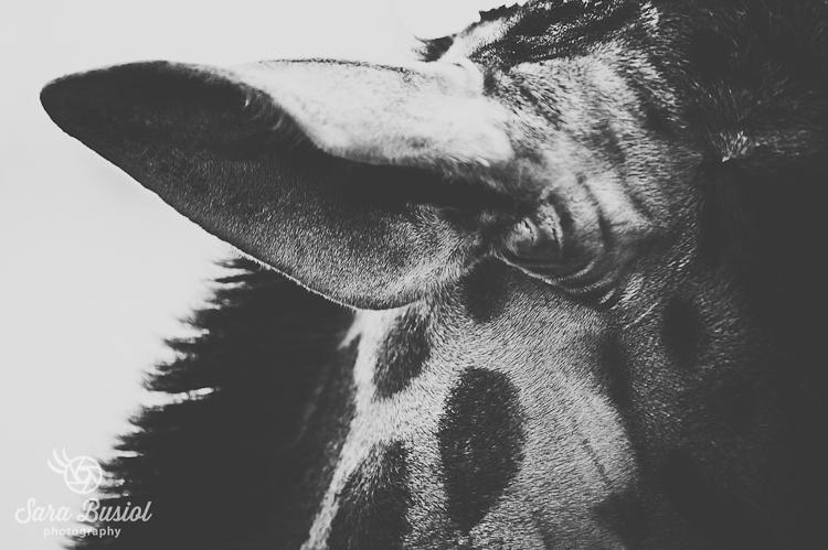 giraffe_sara-busiol007