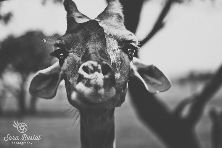 giraffe_sara-busiol016