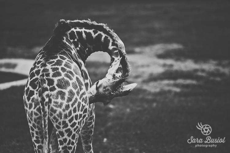 giraffe_sara-busiol017