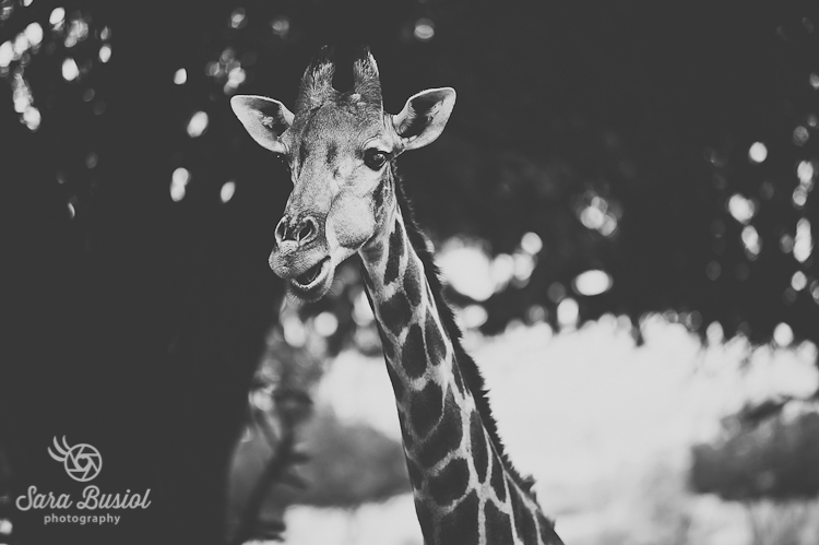 giraffe_sara-busiol020