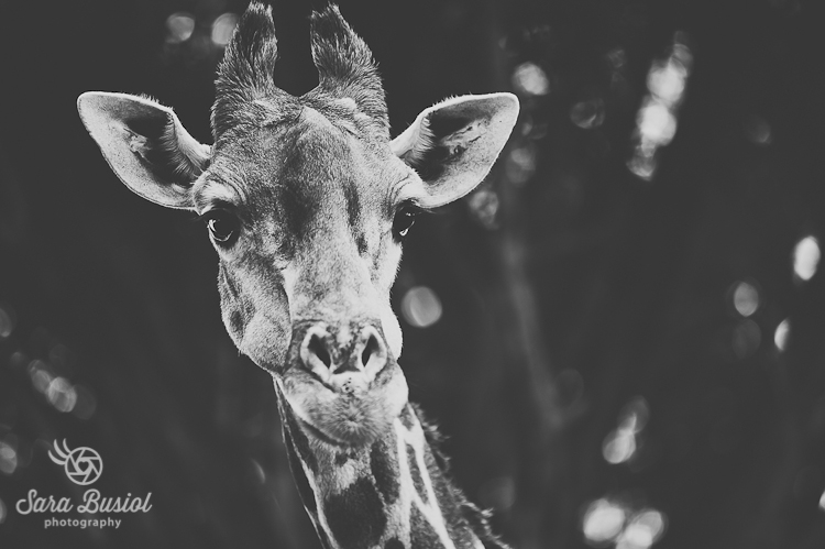 giraffe_sara-busiol021