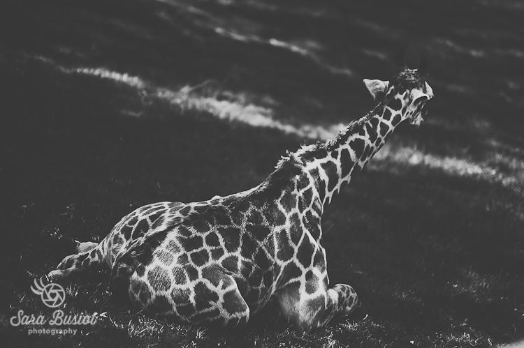 giraffe_sara-busiol022