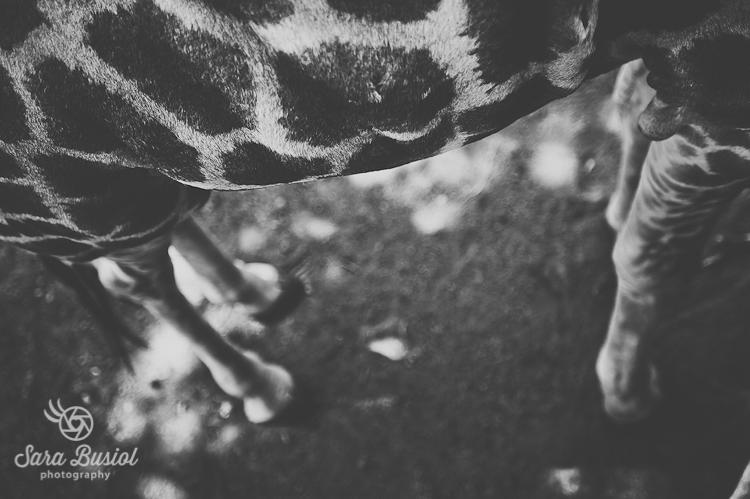 giraffe_sara-busiol024
