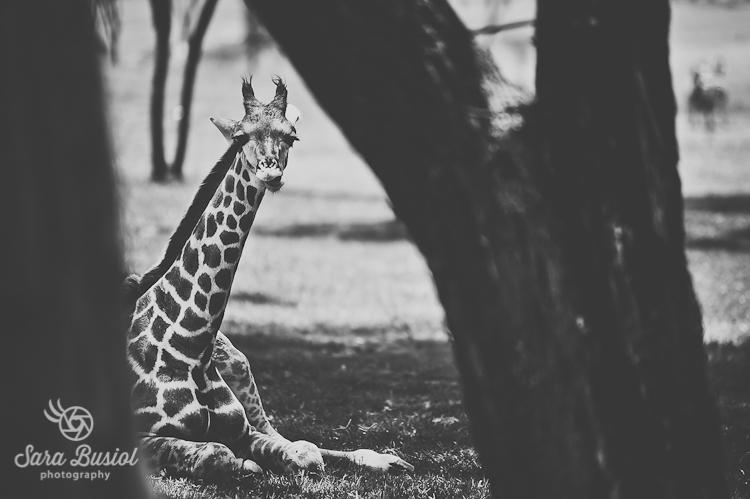 giraffe_sara-busiol033