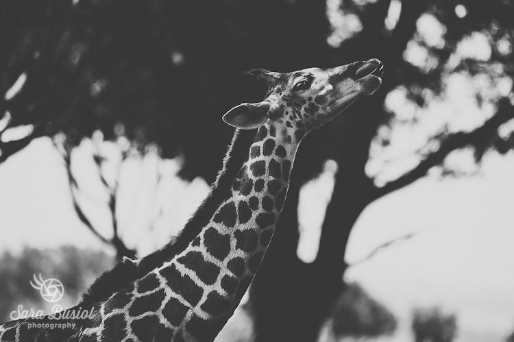 giraffe_sara-busiol034