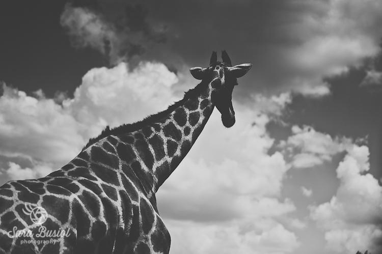 giraffe_sara-busiol035