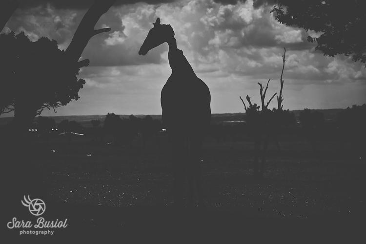 giraffe_sara-busiol038